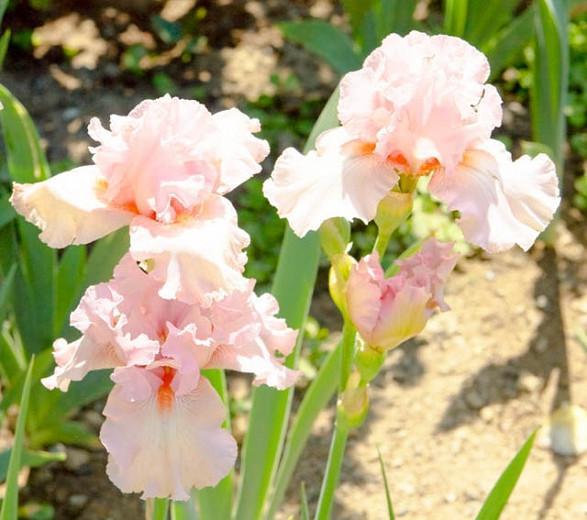 Iris 'Lovely Kay', Tall Bearded Iris 'Lovely Kay', Iris Germanica 'Lovely Kay', Midseason Irises, Award Irises, Pink Irises