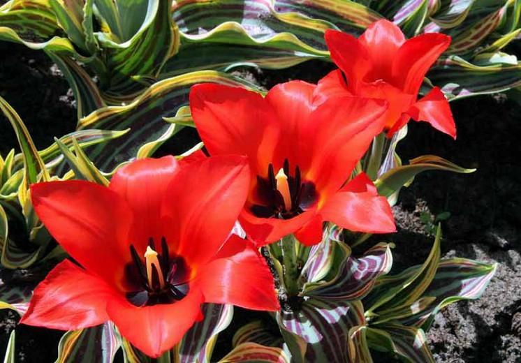 Tulipa Red Riding Hood, Tulip 'Red Riding Hood', Greigii Tulip 'Red Riding Hood', Greigii Tulips, Spring Bulbs, Spring Flowers, Tulipe Red Riding Hood, Tulipes Greigii, Red tulips