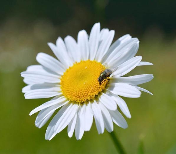 Leucanthemum Vulgare 'Filigran',Ox-Eye Daisy 'Filigran', Field Daisy 'Filigran', Marguerite 'Filigran', Moon Daisy 'Filigran', White Flowers