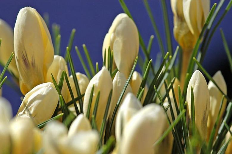Crocus 'Snow Bunting', Crocus Chrysanthus 'Snow Bunting',Crocus Chrysanthus, Crocus 'Snow Bunting', Snow Crocus, Botanical Crocus, Spring Bulbs, Spring Flowers, White Crocus, Early spring bulb
