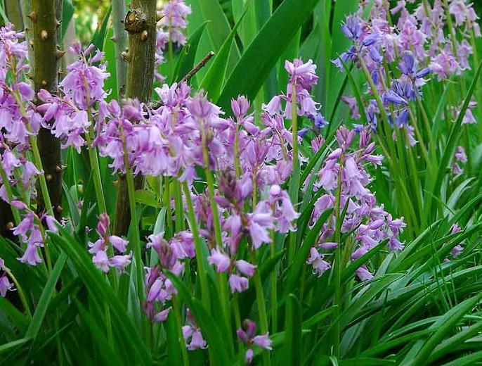 Hyacinthoides Hispanica 'Dainty Maid', Spanish Bluebells 'Dainty Maid', Wood Hyacinth 'Dainty Maid', Scilla hispanica 'Dainty Maid', Scilla Campanulata 'Dainty Maid', Endymion Hispanicus 'Dainty Maid', Pink Flowers,