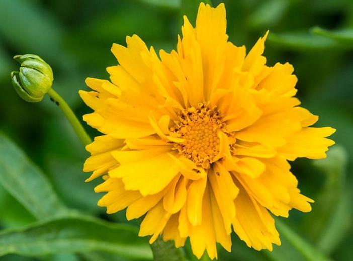 Coreopsis grandiflora 'Presto', Tickseed 'Presto', Presto Tickseed, Drought tolerant plants, dry soil plants, heat tolerant plants, humidity tolerant plants, yellow flowers