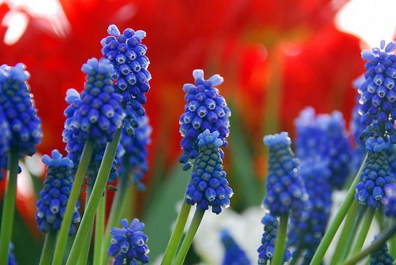 Muscari Armeniacum, Grape Hyacinth, Bulbs Design, Spring Bulbs, Summer Bulbs, Fall Fulbs, Landscaping Design, Garden Ideas