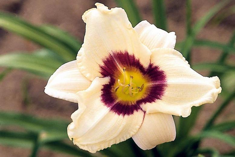 Hemerocallis Pandora's Box, Daylily Pandora's Box, Day Lily Pandora's Box, Pandora's Box Daylily, Early Midseason Daylily, White daylilies, White Daylily, Day Lilies, White flowers, White Hemerocallis