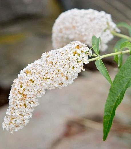 Buddleja 'White Profusion', Buddleja davidii 'White Profusion', Butterfly Bush 'White Profusion', Summer Lilac 'White Profusion', deciduous shrub, White flowers, fragrant shrub, White Buddleja