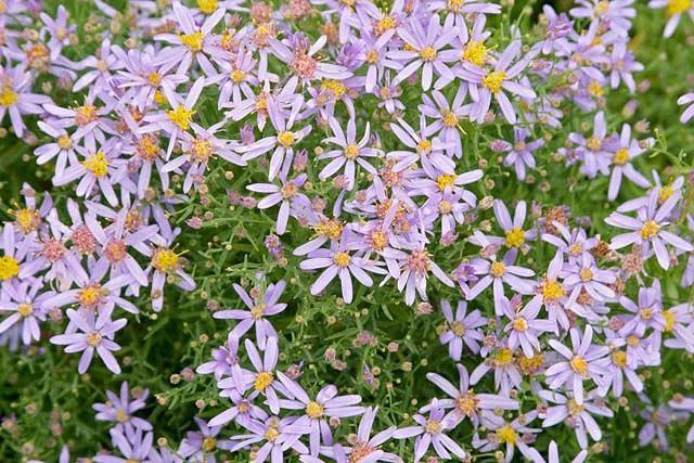 Aster Sedifolius 'Nanus', Aster 'Nanus', Dwarf Rhone Aster 'Nanus', Rhone Aster, Fall Aster, Fall perennials, Fall Flowers, Dwarf Aster, Blue flowers, Lilac flowers, lavender flowers
