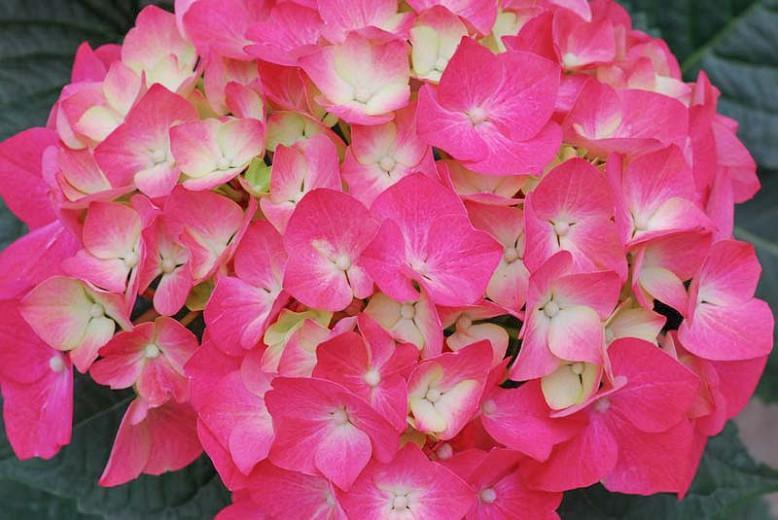 Hydrangea Macrophylla 'Pia', Bigleaf Hydrangea 'Pia', Mophead Hydrangea 'Pia', Hortensia 'Pia', Hydrangea macrophylla 'Piamina Winning Edge', Hydrangea macrophylla 'Winning Edge', Hydrangea macrophylla 'Pink Elf', Pink Hydrangea, Red Hydrangea, Dwarf Hydrangea