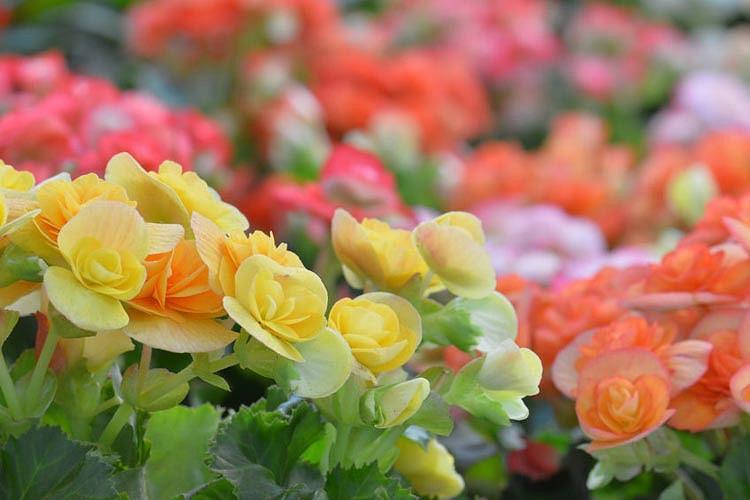 Kalanchoe blossfeldiana, Flaming Katy, Christmas Kalanchoe, Florist Kalanchoe, succulent plant, Drought tolerant plant, red flowers, yellow flowers, pink flowers, orange flowers