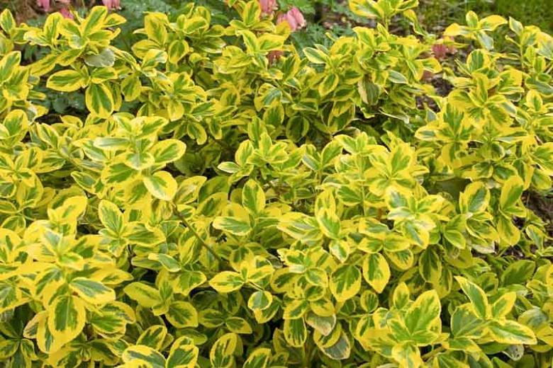 Euonymus Fortunei 'Gold Splash', Wintercreeper 'Gold Splash', Spindle 'Gold Splash', Euonymus fortunei 'Roemertwo', evergreen shrubs