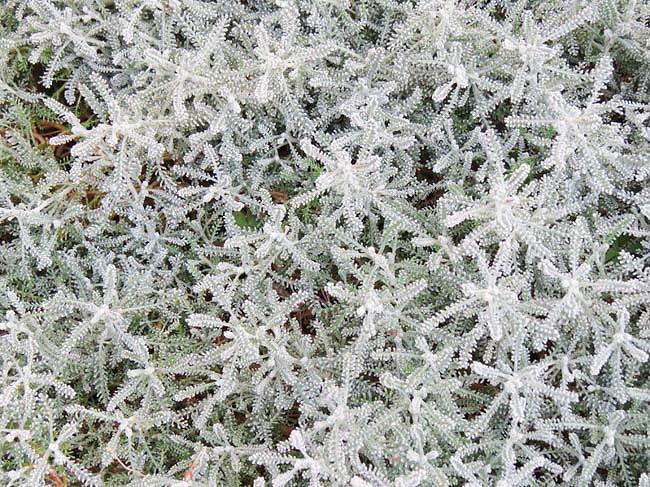 Santolina Chamaecyparissus, Santolina, Lavender Cotton, Gray Santolina, Drought Tolerant plant, Silver Foliage plant