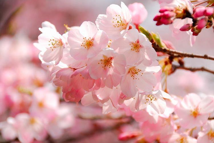 Prunus × yedoensis 'Akebono', Japanese Flowering Cherry 'Akebono', Yoshino Cherry Akebono, Cherry 'Akebono', Akebono Cherry, Daybreak Cherry, Daybreak Yoshino Cherry, Akebono Yoshino Cherry, Pink flowers
