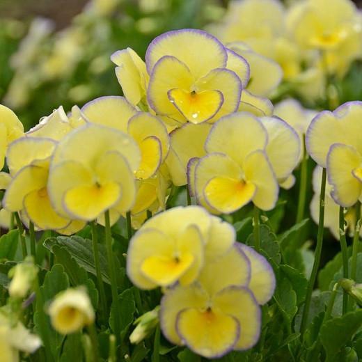 Viola 'Etain', Viola 'Helen Dillon', violet flowers, pansies, fragrant perennials, evergreen perennials, evergreen flowers, purple flowers, yellow flowers, spring flowers
