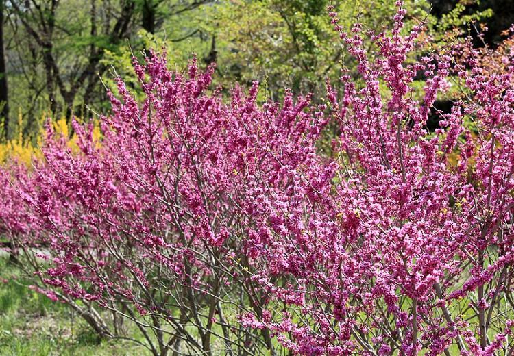 Cercis chinensis 'Avondale', Chinese Redbud 'Avondale',Shrub, Small Tree, Pink Flowers, ornamental tree, dark leaves