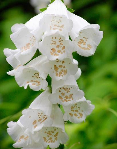 Digitalis Purpurea Camelot White, Common Foxglove Camelot White, Camelot White Foxglove, Foxglove Camelot White, Lady's Glove Camelot White, White floxglove