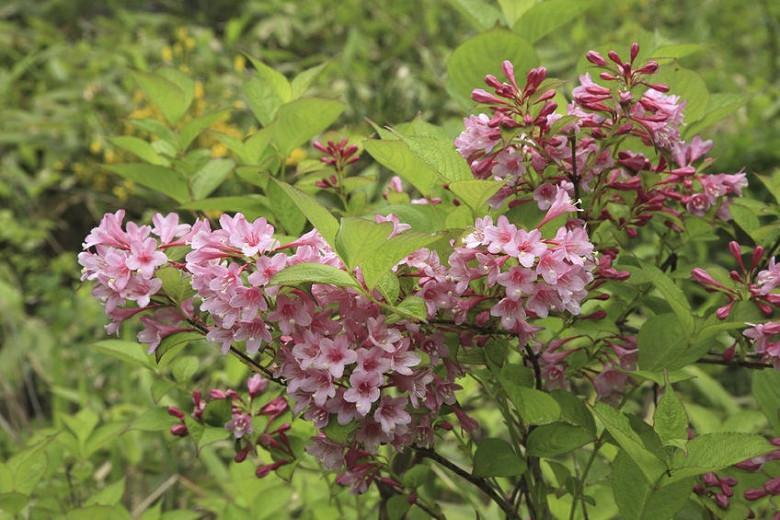 Weigela praecox, Flowering Shrub, Pink Flowers