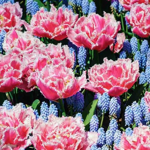 Tulipa 'Queensland', Tulip 'Queensland', Fringed Tulip 'Queensland', Fringed Tulips, Spring Bulbs, Spring Flowers, pink Tulips, Tulipes Dentelle