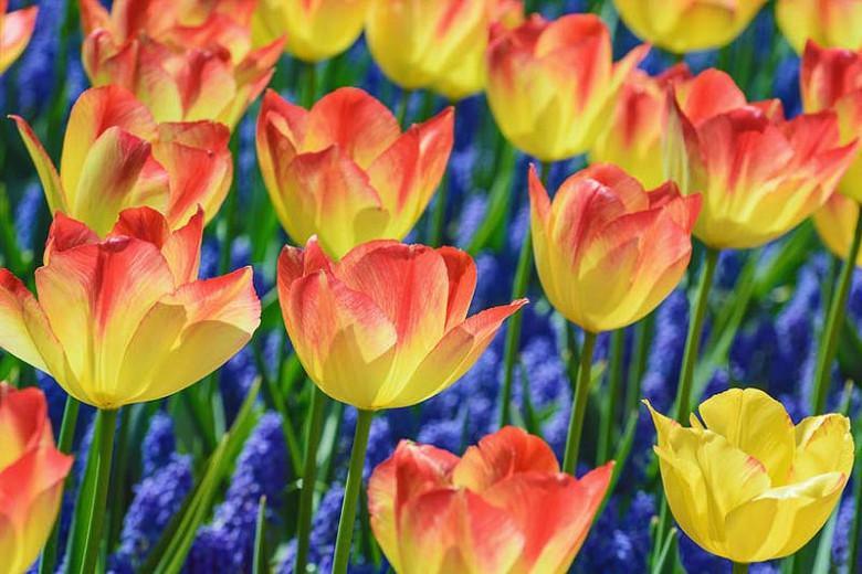 Tulipa 'Suncatcher',Tulip 'Suncatcher', Triumph Tulip 'Suncatcher', Triumph Tulips, Spring Bulbs, Spring Flowers, Red Tulip, Bicolor Tulip, Yellow Tulip