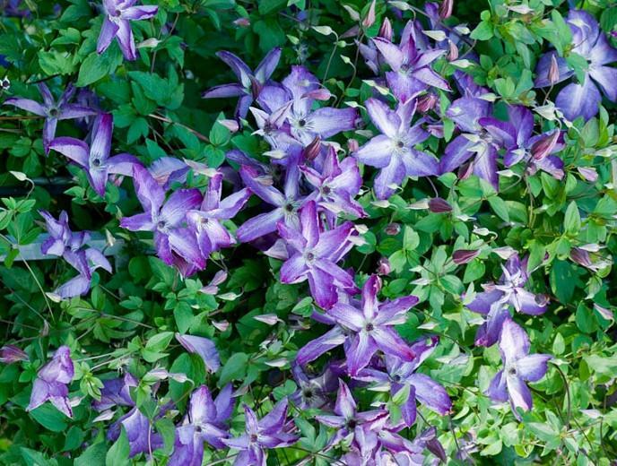 Clematis 'Venosa Violacea', Clematis Viticella 'Venosa Violacea', group 3 clematis, Purple clematis, Clematis viticella