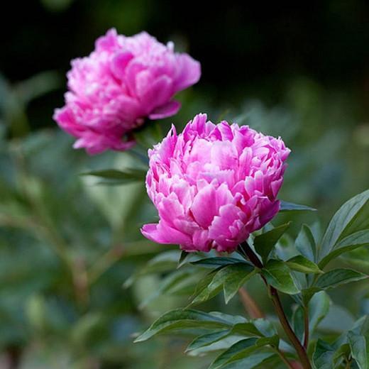 Paeonia Lactiflora 'Edulis Superba', Peony 'Edulis Superba', 'Edulis Superba' Peony, Chinese Peony 'Edulis Superba', Garden Peony 'Edulis Superba', Pink Peonies, Pink Flowers