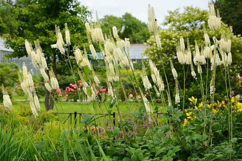 Actaea racemosa, Black Snakeroot, Bugbane, Black Cohosh, Cohosh Bugbane, Cimicifuga racemosa, Cimicifuga racemosa var. racemosa, White flowers
