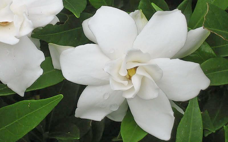 Gardenia jasminoides Frostproof, Cape Jasmine 'Frostproof', Frostproof Cape Jasmine, Cape Jessamine 'Frostproof', Hardy Gardenia, Fragrant flowers, evergreen shrub, White flowers, Fragrant flowers, evergreen shrub, White flowers