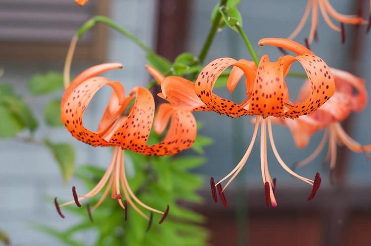 Lilium Lancifolium 'Splendens', Tiger Lily, Lance-Leaved Lily,  Lilium Tigrinum 'Splendens', Lilium Tigrinum subsp. Splendens, Lilium Lancifolium var. Splendens, Species Lilies, Orange Lilies