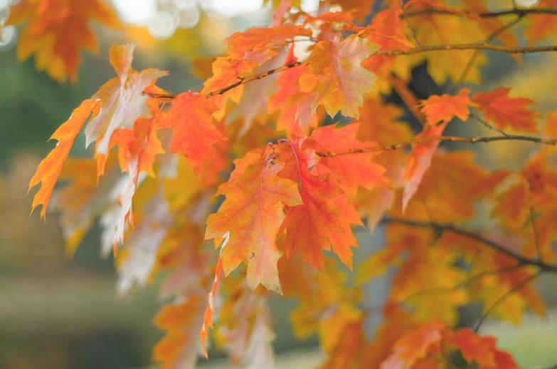 Quercus robur, English Oak, Common Oak, Black Oak, French Oak, Pedunculate Oak, Polish Oak, Slavonian Oak, Quercus pedunculata, Tree with fall color, Fall color, Attractive bark Tree