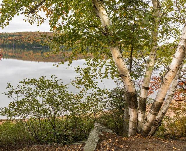 Betula papyrifera, Paper Birch, Canoe Birch, White Birch, Tree with fall color, Fall color, Attractive bark Tree,