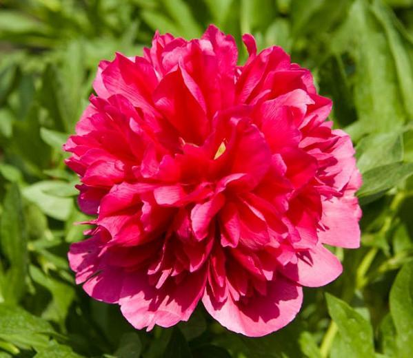 Paeonia 'Many Happy Returns', Peony 'Many Happy Returns', 'Many Happy Returns Peony, Red Peonies, Red Flowers, Fragrant Peonies