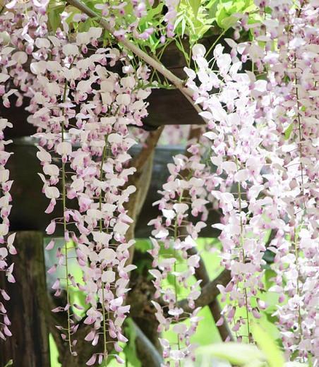 Wisteria Floribunda 'Kuchi Beni',Japanese Wisteria 'Kuchi Beni', Wisteria 'Lipstick',Fragrant Vines, Pink Wisteria