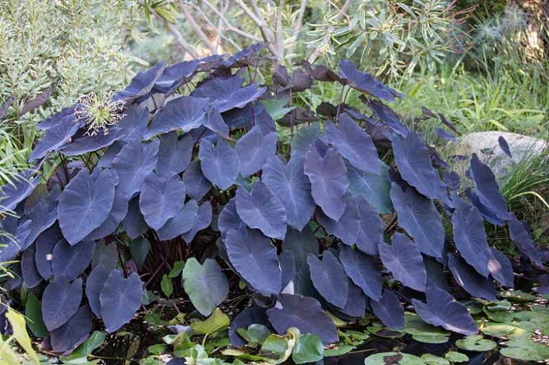 Colocasia esculenta 'Black Magic', Taro 'Black Magic', Elephant Ears 'Black Magic', dark leaves, evergreen perennial,