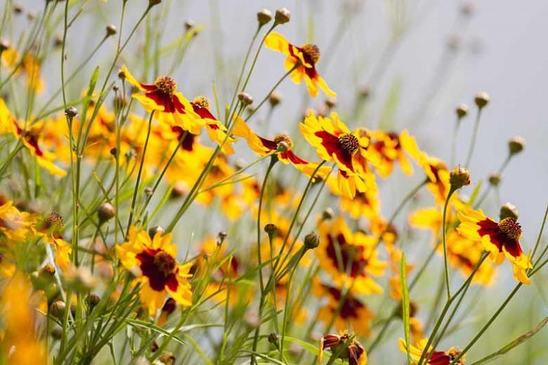 Coreopsis tinctoria, Dyer's Tickseed, Nuttal Weed, Plains Coreopsis, Golden Tickseed, Goldenwave, Calliopsis, Drought tolerant plants, dry soil plants, heat tolerant plants, humidity tolerant plants, yellow flowers