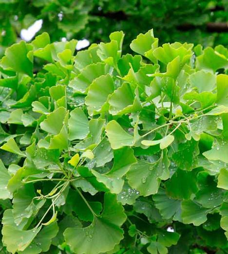 Ginkgo biloba 'Tubifolia',Maidenhair Tree 'Tubifolia', Fossil Tree 'Tubifolia', Icho 'Tubifolia', Ginkgo biloba 'Tubiformis', Ginkgo biloba 'Tubiforme', Ginkgo biloba 'Tubeleaf', Fall color, Yellow Leaves