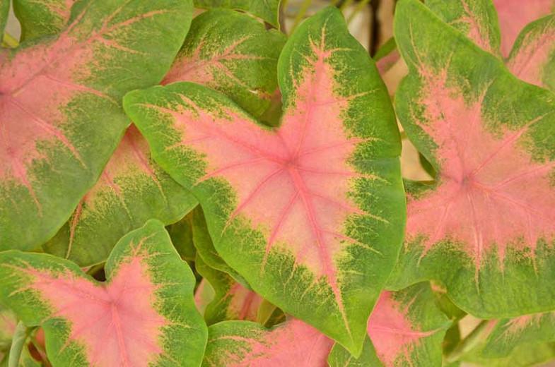 Caladium 'Kathleen', Angel Wings 'Kathleen', Kathleen Caladium, Shade Plant, Pink leaves, Pink Foliage,Fancy Caladium, Fancy-Leafed Caladium