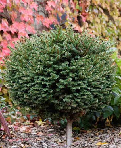 Picea abies 'Little Gem', Norway Spruce 'Little Gem', Little Gem Norway Spruce, Evergreen Conifer, Evergreen Shrub, Dwarf Conifer, Dwarf Spruce