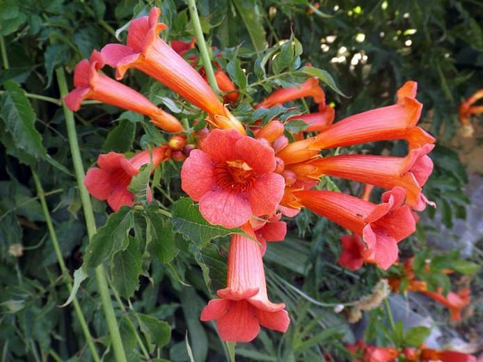 Campsis × Tagliabuana 'Madame Galen' (Trumpet Vine),Trumpet Creeper 'Madame Galen', Trumpet Vine 'Madame Galen', Orange Vines, Mediterranean Vines, Orange Flowers