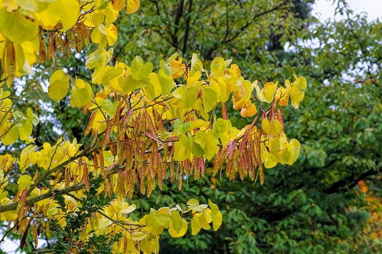 Cercis siliquastrum, Judas Tree, Mediterranean Redbud, Love Tree, Small Tree, Pink Flowers,