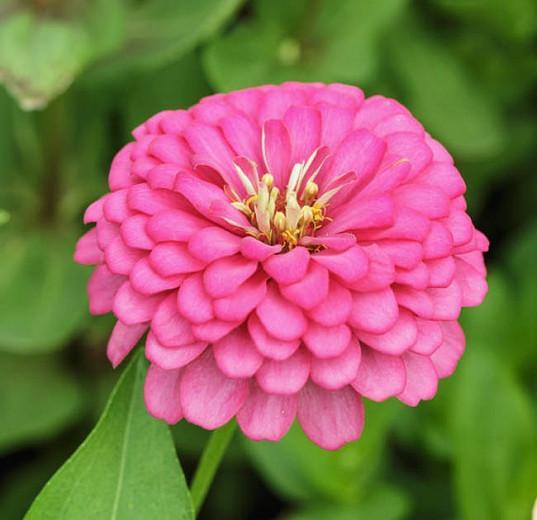 Zinnia 'Benary's Giant Bright Pink', Zinnia Elegans 'Benary's Giant Bright Pink', Benary's Giant series, Pink Zinnia, Pink Double Zinnia, Tall Zinnia