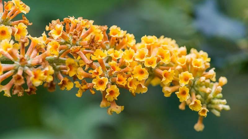 Buddleja 'Honeycomb', Butterfly Bush 'v', Summer Lilac 'Honeycomb', deciduous shrub, Yellow flowers, fragrant shrub, Yellow Buddleja, Yellow Buddleia