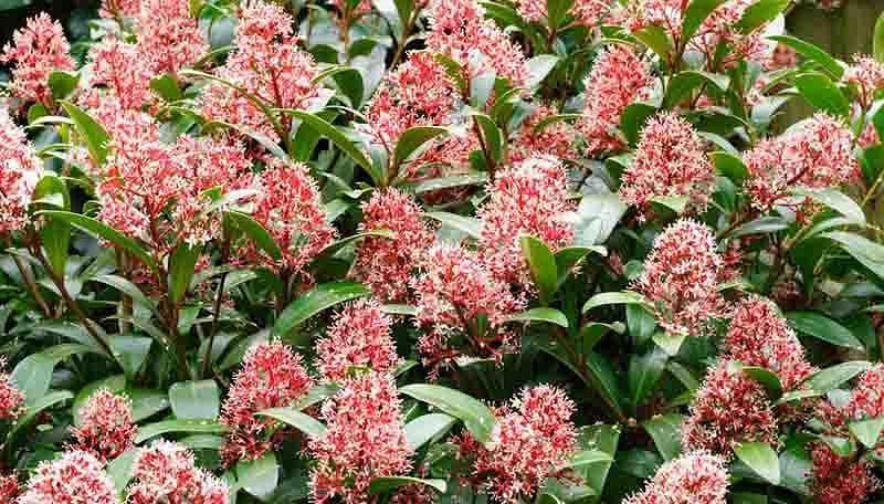 Skimmia Japonica, Japanese Skimmia, Evergreen Shrub, Fragrant Shrub, Red Berries, shrub with berries