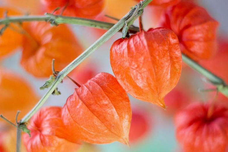 Physalis alkekengi var. franchetii, Chinese Lantern, Strawberry Ground Cherry, Cape Gooseberry, Winter Cherry, Physalis franchetii, Orange Fruit, Fall Fruit