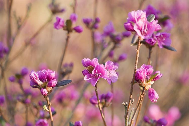 Rhododendron Dauricum 'Mid-Winter', 'Mid-Winter' Rhododendron, Rhododendron 'Mid-Winter', Rhododendron 'Midwinter', Early Season Rhododendron, Purple Rhododendron, Purple Flowering Shrub, Evergreen Rhododendron