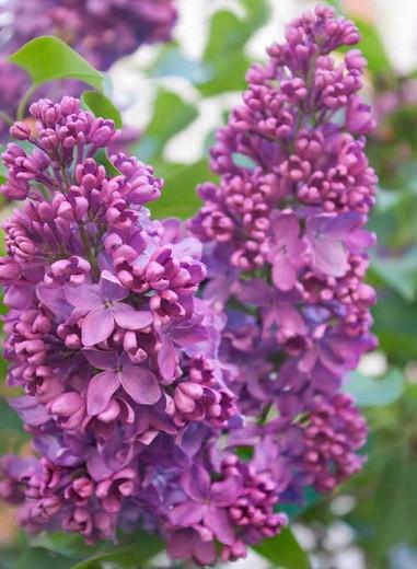 Syringa vulgaris 'Yankee Doodle',Syringa 'Yankee Doodle', Lilac 'Yankee Doodle', Purple lilac, Fragrant Lilac, Purple Flowers, Fragrant Shrub, Fragrant Tree