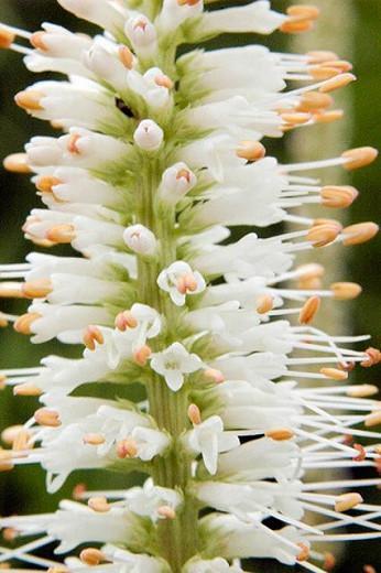 Veronicastrum Virginicum album, Culver's root, Veronicastrum Virginicum alba, wildflower, wild perennial, White perennial