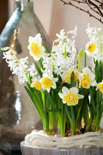Hyacinthus Orientalis 'White Festival', Hyacinth 'White Festival', Multi-flowering Hyacinth, Dutch Hyacinth, Hyacinthus Orientalis, Hyacinthus Multiflora, Spring Bulbs, Spring Flowers, White hyacinth, White flower