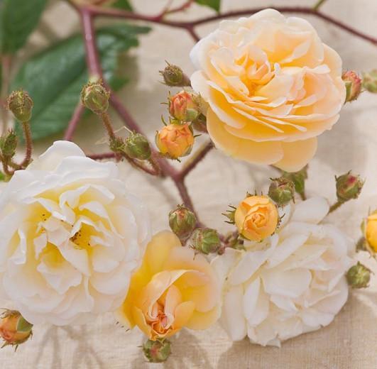 Rose 'Ghislaine de Feligonde', Rosa 'Ghislaine de Feligonde', Rambler Roses, Hybrid Multiflora Roses, Hybrid Musk Roses, Fragrant roses, yellow roses, Climbing Roses