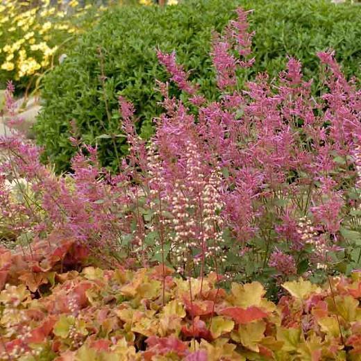 Hyssop Bolero, Anise Hyssop Bolero, Hummingbird Mint Bolero, Dwarf Hyssop Bolero, Purple Hyssop, Purple Flowers, Purple Hummingbrid Mint
