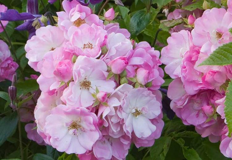 Rose 'Mrs. F.W. Flight', Rosa 'Mrs. F.W. Flight', Climbing Roses, Hybrid Multiflora Roses, Large-Flowered Climbers, Pink roses, Rose bushes, Garden Roses
