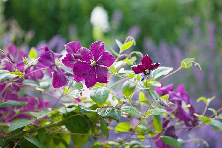 Clematis 'Polish Spirit', Clematis Viticella 'Polish Spirit', group 3 clematis, purple clematis, blue Clematis