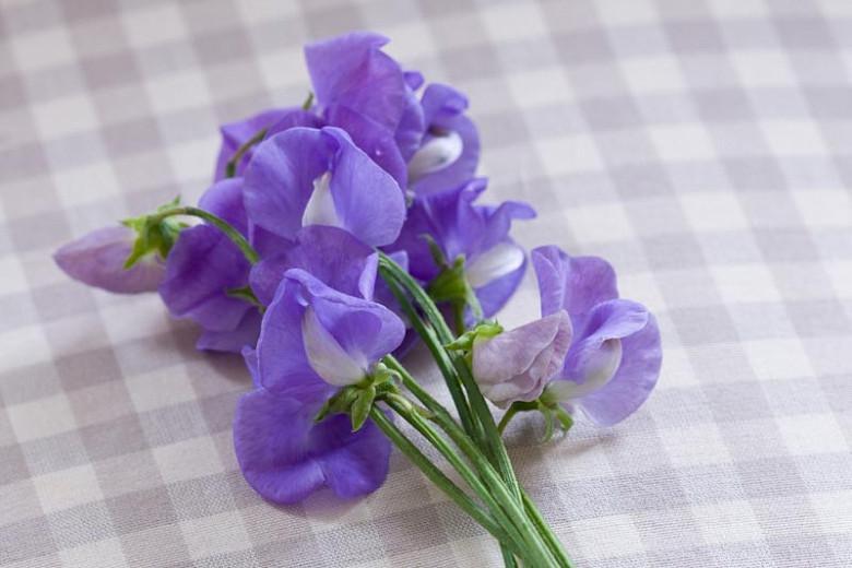 Lathyrus Odoratus 'Flora Norton',Sweet Pea 'Flora Norton', Fragrant Flowers, Blue Flowers, Lavander Flowers, Annuals, Annual plant, Cut flowers, deer resistant flowers